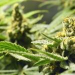 Cannabis_01